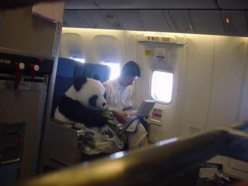 "sheercalculatedsilliness:   This is a real panda! China has this ""panda diplomacy"" and this one will be sent to Japan as an friendship envoy. For the safety reason he sits as a passenger with his feeder, not in a cage. Fastening the seat belt, wearing a diaper, eating bamboos..etc  THIS IS ACTUALLY REAL"