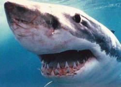 Australia's controversial plans to reduce the population of sharks in surrounding seas entails of very little thought and fear-mongering tactics. The proposed cull is an attempt to protect beach-goers from potential attack, but is this a largely Jaws-inspired fear campaign that hasn't been properly thought through? Do sharks actually pose a threat to Australians? Read the entire article here.