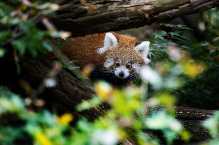 theanimalblog:  A young red panda at Dresden zoo, eastern Germany. The animal was born on 30 June 2012 and is now exploring its open air enclosure.  Photograph: Arno Burgi/AFP/Getty Images