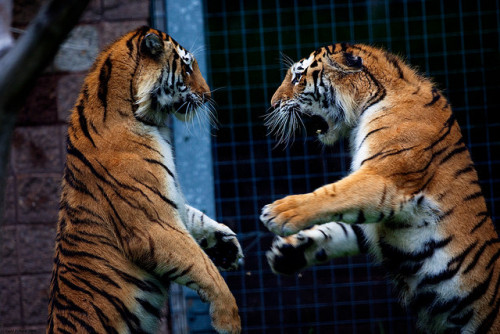 Tigers having a discussion by Todd Ryburn on Flickr.
