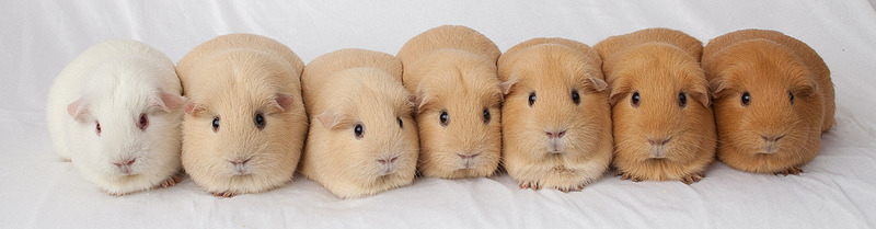 glassbonespaperskin:  Tan color spectrum of guinea piggies!!