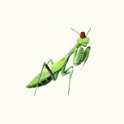 oliviagulin:  Little praying mantis with a fez :>