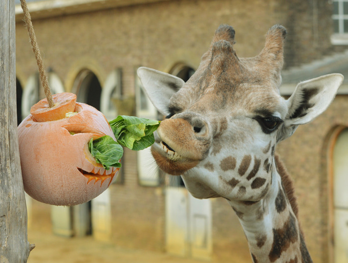 Pumpkin and luttuce ice-lolly for ZSL London Zoo's retriculated giraffe.