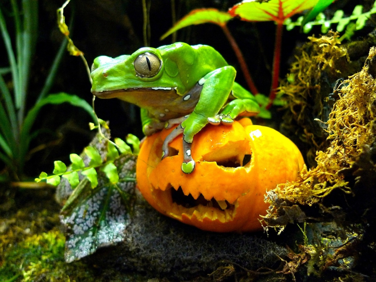 Giant waxy monkey tree frog on a miniature pumpkin at ZSL London Zoo  (c.) Grant Kother