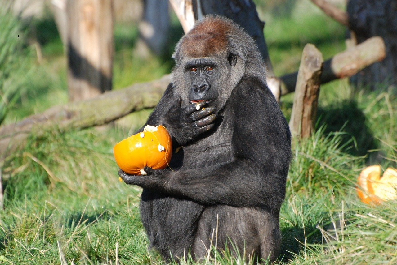 Effie the Western lowland gorilla didn't realise the pumpkins were for decorative purposes.