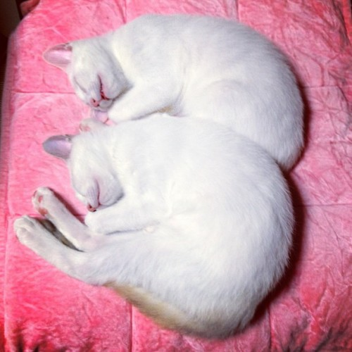 "thefluffingtonpost:  Twin Cats Always Mirror Each Other in Sleep Scientists are baffled by twin cats, Merry and Pippin, who reportedly always sleep in an exact mirror image of one another.   ""Even if we place them in disparate starting positions or in separate rooms, they somehow always wind up sleeping exactly like the other,"" said leading cat biologist and feline sleep expert Dr. Tobias Winslow.  ""I've never seen anything like it."" A polysomnogram revealed nothing out of the ordinary about the cats' brain functions, eye movements, muscle activity, breathing or heart rhythms.  ""We had expected to find that Merry and Pip were synched up on an internal level,"" explained Winslow, ""but it is literally just in the way they position their bodies for slumber."" More tests will be done later this month during a scheduled comprehensive sleep study. Via  0mumu0."