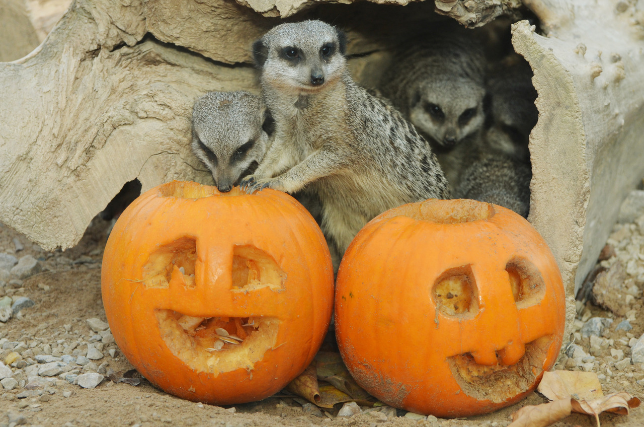 The meerkats look less-than-impressed with the pumpkin carving skills of the ZSL London Zoo keepers.