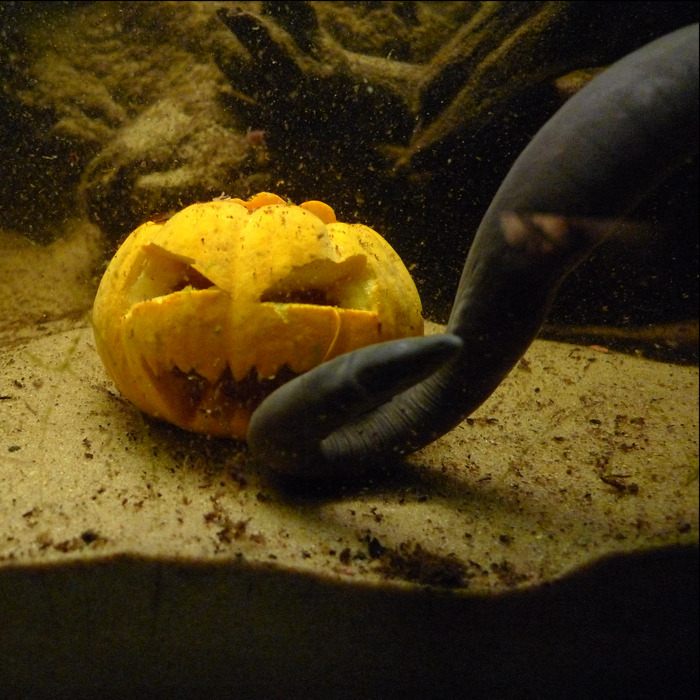 A slightly more niche one: an aquatic caecelian with a pumpkin.