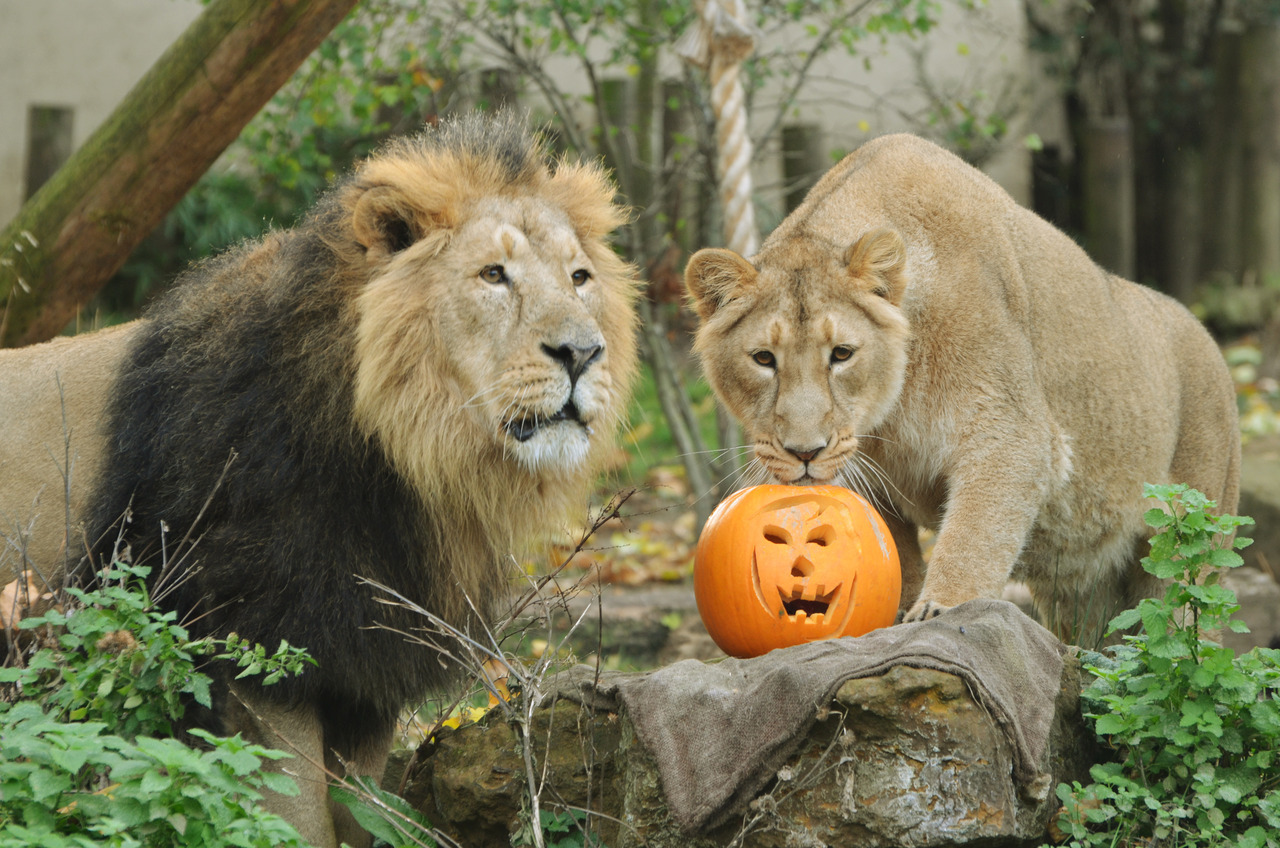 Lucifer and Abi the Asian lions do their best pumpkin impressions.