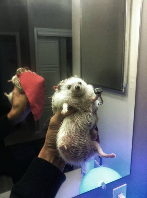 heartthr0bbstark:  bunnyfood:  Thor, Hedgehog of Thunder (via)  UGHHHHHH