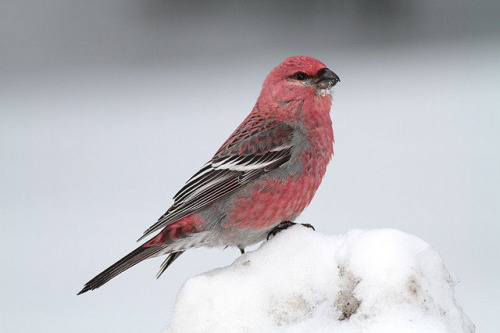 jomobimo:  Pine Grosbeak by prairiedog (in and out) on Flickr.