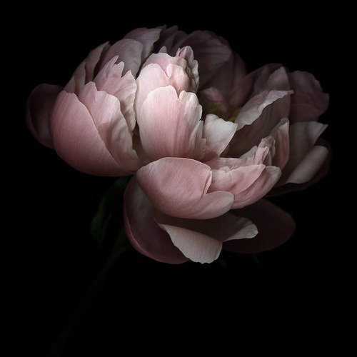 graceandcompany:  ♥LIKE : Pivoine