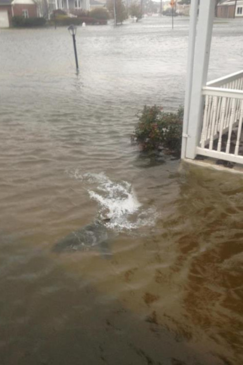 10knotes:  partylike-gatsby: There's a shark in my friend's lawn! Sandy u a crazy bitch.  Follow this blog, you will love it on your dashboard