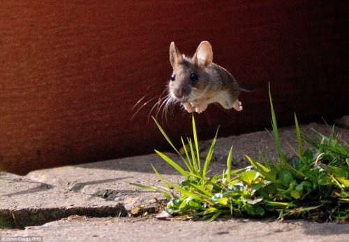 phototoartguy:  Mighty mouse: John Cocks's expertly-timed photo of a leaping mouse.