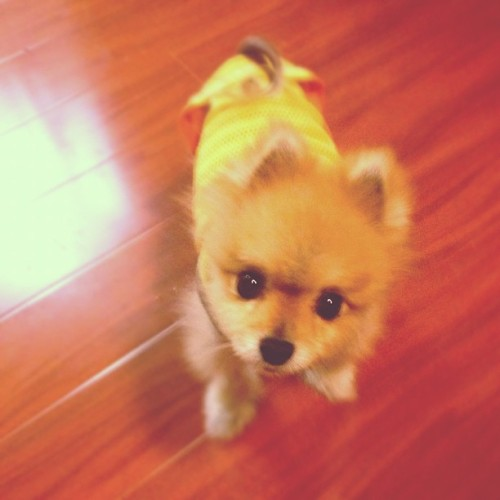 Dude, how can you say no to that face? #cute #adorable #pet #dog #pomeranian #teddybearpom #pom #teddybear #pomlove #puppylove #cutie #momo