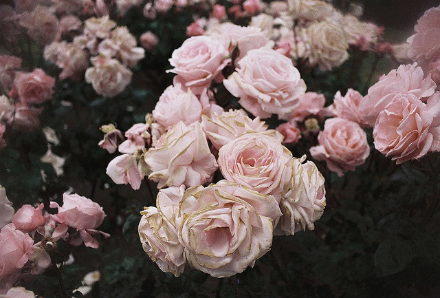 the sadness of roses. by Misma Andrews on Flickr.