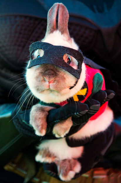 theanimalblog:  Joey, a dwarf Siamese rabbit, is dressed as Batman's sidekick Robin at a Halloween dog costume parade and contest in Long Beach, California.  Picture: ROBYN BECK/AFP/Getty Images