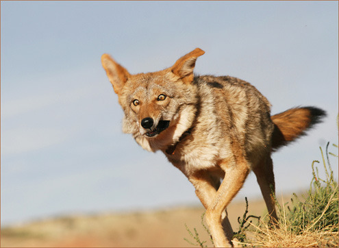 Even Charlie has derpy days (I love this coyote, check out his blog!) (via The Daily Coyote » Blog Archive » Crazy Eyes (And Everything))