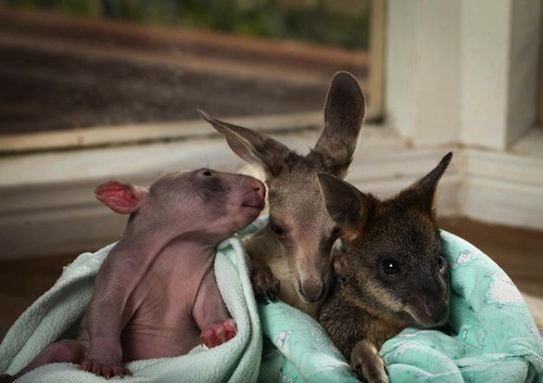 Anzac and Peggy have a new best friend! This is Cupcake the swamp wallaby, another orphaned marsupial now in care at the Wild About Wildlife Rescue Centre in Kilmore, Australia. Zooborns (which we usually don't link to because we are Not Here for Zoos) has a few more photos of Anzac, Peggy, and Cupcake, which you should look at right away for maximum adorable animal benefits. [photo via Zooborns]