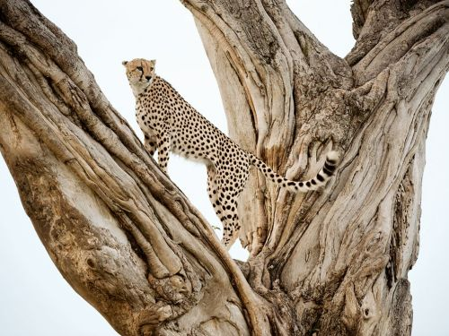 Cheetah, Kenya Photograph by Frans Lanting,
