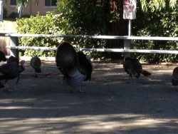 Yeah, those are just wild turkeys. Y'know. Just hangin'.