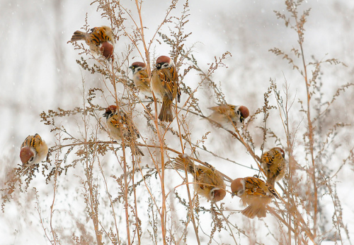 ethandthorn:  Sparrows of some sort