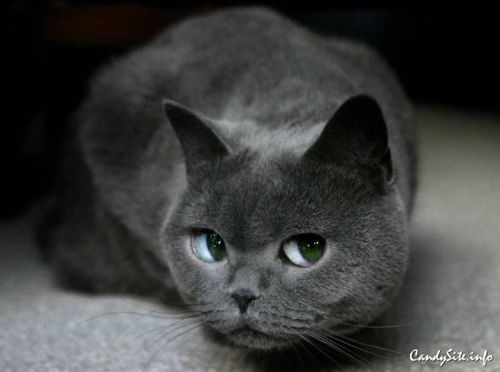 Gray cat with green eyes (cat,eyes,cute,animals,green,cool,nature)
