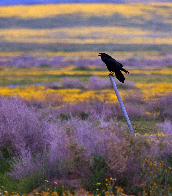 Carrizo Plain Raven '10 by flythebirdpath~}~}~} on Flickr. :)