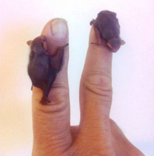 morrissarty:  mysticmistake:  Bumblebee bats will forever be my pet of choice  oh my god can i have a bucketful please