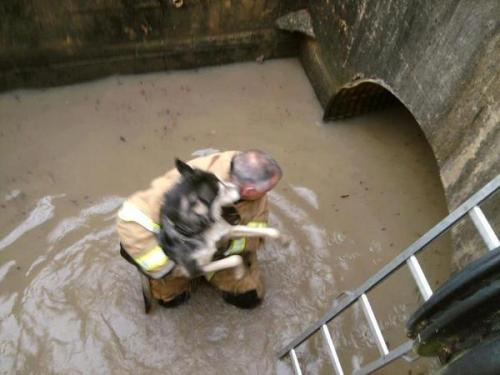 jezebelcom:  Firefighter saving dog causes millions of hearts to flutter. Actually, I like to imagine that this dog is more a Lassie character and that he's doing the firefighter saving. Whatever is happening, it gives me faith in the goodness of humans and dogs. Together, we can do anything!  You guys! Our Laura is 50 percent of Jezebel right now, which means it is 100 percent more animal-issues-friendly. Namely, this firefighter rescuing a dog. Hearts flutter, Vegansaurus swoons.