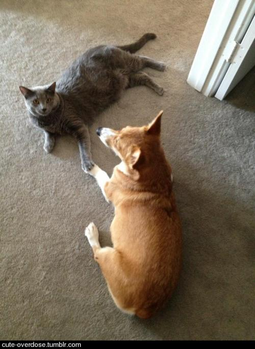 cute-overdose:  Caught my corgi and cat holding hands. more cute pics here