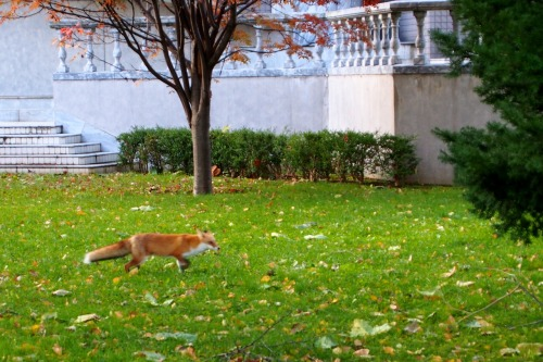 A fox greeted me this morning in Nakajima Park (Sapporo) on my way to do fieldwork! My photo-brain wasn't working yet, so the shot is blurry ;)