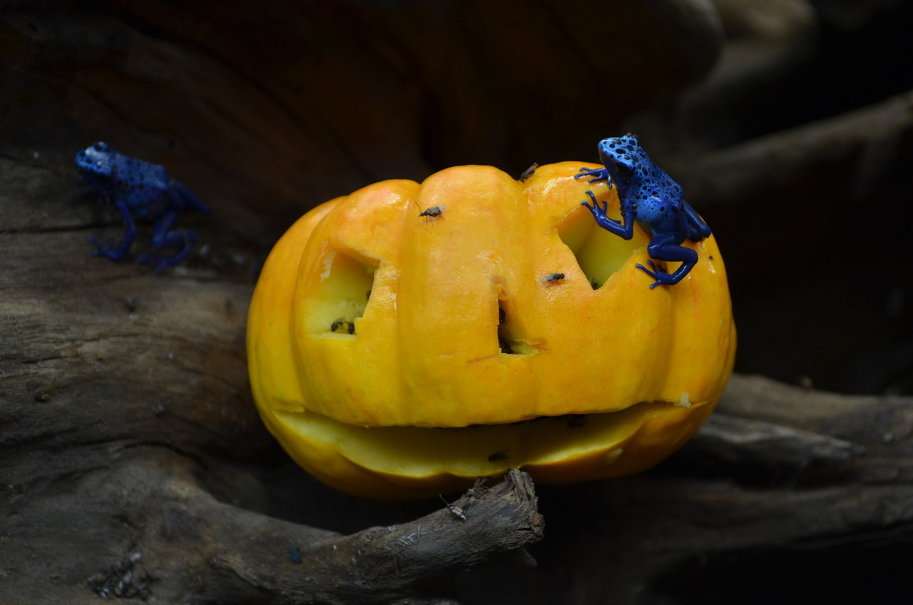 Blue poison dart frogs with obligatory mini-pumpkin.