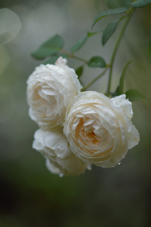 prettylittleflower:  'Rose Marie' in the rain (by myu-myu)
