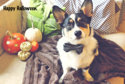 corgiaddict:  Watson's Halloween costume 2012.   Halloween Corgi does it in style!