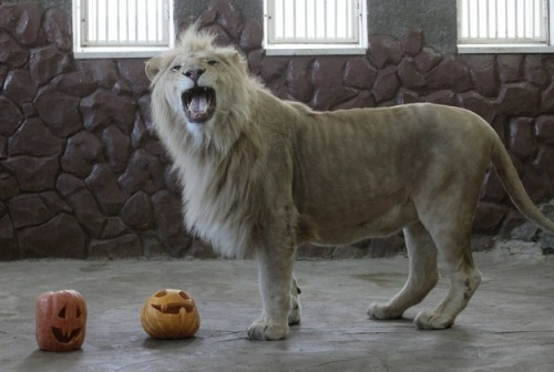 Both the San Diego Zoo and the London Zoo yesterday had a big Halloween celebration for the animals there. Pumpkins were feasted on by all!
