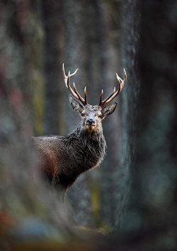 theanimalblog:  Red deer stag in pine forest by Neil McIntyre