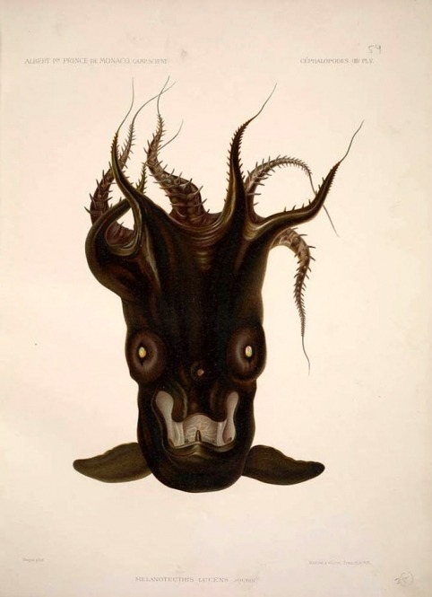 Vampire Squid Illustration, 1889 This Smithsonian Snapshot celebrates the Halloween season with this 1889 scientific illustration of a vampire squid from Smithsonian Libraries. Its jet-black skin, the caped appearance of the webbing between its arms and eyes that appear red under some light conditions are what gave the vampire squid its name. In 1889, Prince Albert I of Monaco began writing the series Résultats des campagnes scientifiques accomplies sur son yacht. The series, including the volume with this vampire squid illustration, is held for research at the Smithsonian Institution Libraries. In the early 1900s, the prince's strong interest in protecting the world's oceans and discovering new species led him to establish the Fondation Albert Ier. The foundation promoted his research in the field of oceanography and marine biology. The vampire squid (Vampyroteuthis infernalis) is the single living representative of the cephalopod group known as the Vampyromorpha. It is a small, deep-sea species found at depths of at least 2,000 to 3,000 feet in the temperate and tropical oceans of the world. It reaches a maximum total length of around 30 centimeters with a 15-centimeter gelatinous body similar to a jelly fish. It shares similarities with both squid and octopuses. In 1903, it was classified as an octopus by German teuthologist Carl Chun, but later reassigned to a new order. To learn more about the vampire squid in the wild, visit the Encyclopedia of Life. This object is one of 137 million artifacts, works of art and specimens in the Smithsonian's collection. It is currently not on display but is digitized in the Biodiversity Heritage Library. To learn more about this item, visit the Smithsonian Institution Libraries website.