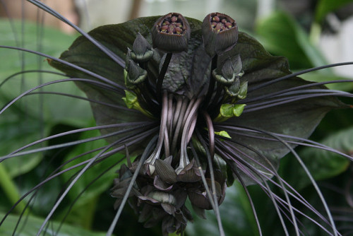 3foldlaw:  black flower by slichly  Tacca chantrieri (batflower)