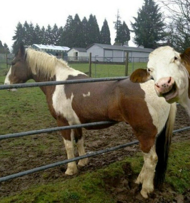ratsoff:   Breaking news. A cow photobombing a horse stuck in a fence.  (via ilanaglazer.)