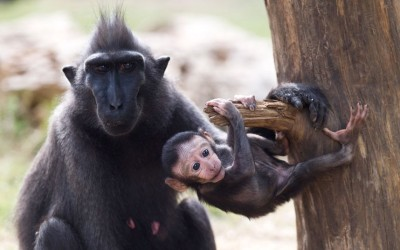 Nachi, a 14-year-old Celebes crested macaque, watches her two-week-old baby Nina at the Ramat Gan Safari park near Tel Aviv, Israel.  Picture: EPA/OLIVER WEIKEN