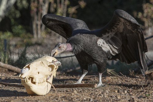 Halloween was made for California condors.