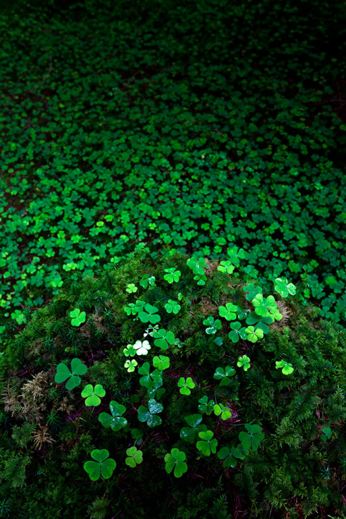 I just learned recently that wood sorrel (Oxalis acetosella) is commonly confused with clover (Trifolium repens). It turns out that wood sorrel has more heart-shaped leaves than clover. It is often referred to as a shamrock and given as a gift on St. Patrick's Day. PS its leaves are edible and taste like sour apples!