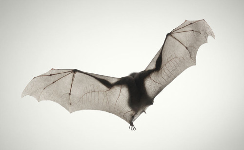 geneticist:   Bat photographed by Tim Flach  Happy Halloween!