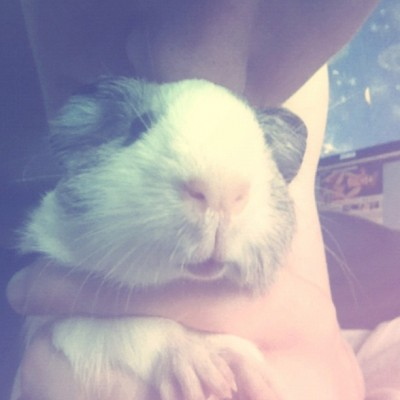I have 2 guinea pigs. You've met Dexter, now say hello to Joe ;D   He wouldn't stay still for his photo. He moves around a lot and my mum named him. :p