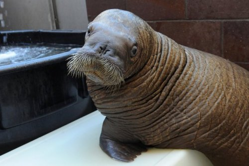 Mitik is being monitored. Let's hope the baby walrus will be okay. Sandy doesn't have us beat!