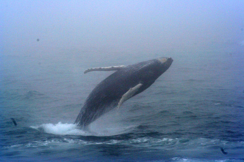 deepblueseawhales:  Humpback Breach (by joeforjette)
