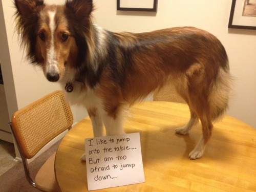 dogshaming:  I jump on the table when mom isn't home, but am too afraid to jump down. Mom comes home to find me on the table… who knows how long I've been stuck up there.