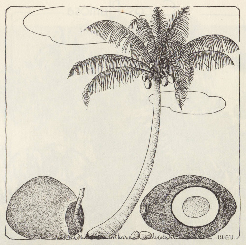 factstofigures:  Coconut Palm (Cocos nucifera) Artist: Fred Walden McGeachy, B. (1955). Handbook of Florida Palms. St. Petersburg: The Great Outdoors Publishing Co.