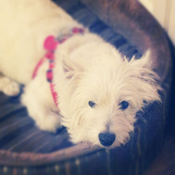 Sleepy puppy. #westies #terriers #dogs